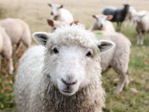 Sheep in front of camera to illustrate sycophantic 'yes' people